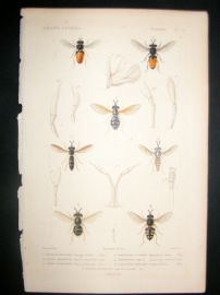 Cuvier C1840 Antique Hand Col Print. Insects 175